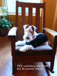 Photograph of Ted my Wire Fox Terrier, susan sheldon nolen (C)susansheldonnolen