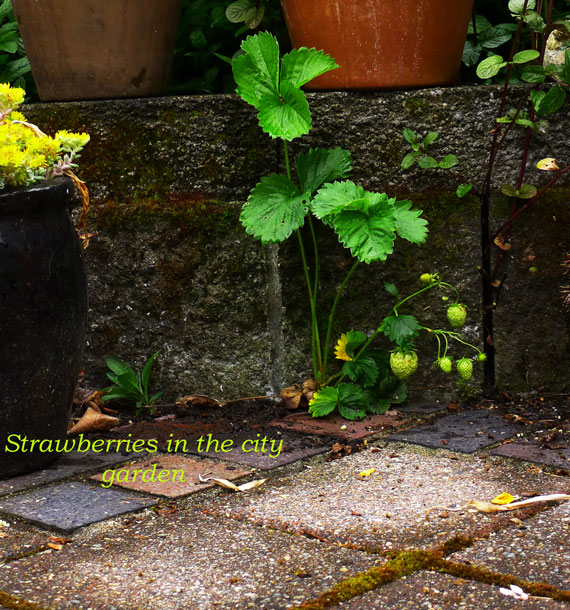Strawberries growing out of the paving stones
