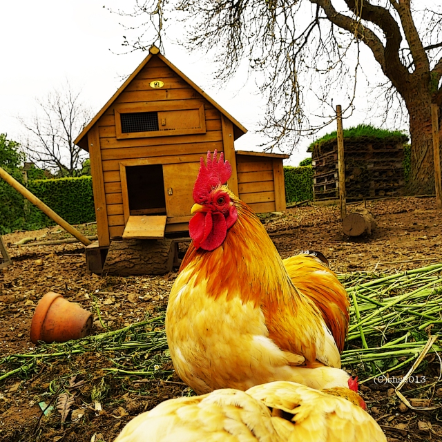 photograph of chartwell's chickens by susan sheldon nolen