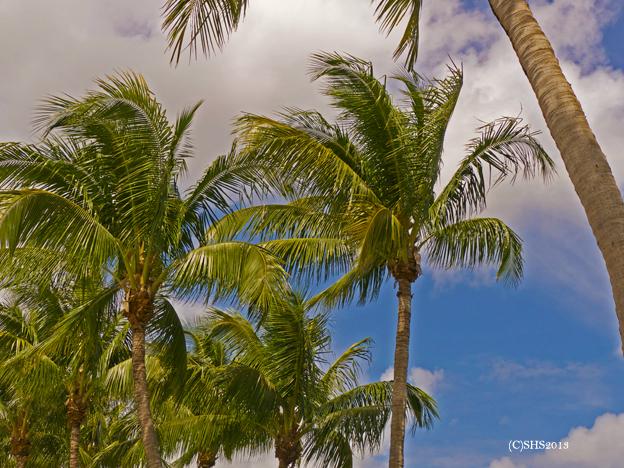 palmtreesshs