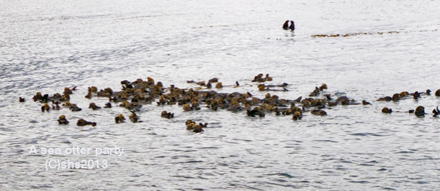 photograph of sea otters in Alaska by susan sheldon nolen © 2013