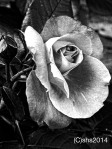 Photograph of a rose by susan sheldon