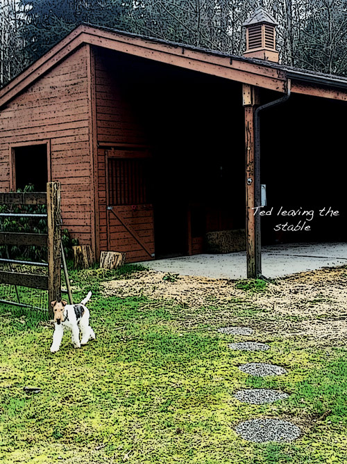 Susan Sheldon's photograph of Ted The wire Fox Terrier leaving the stables